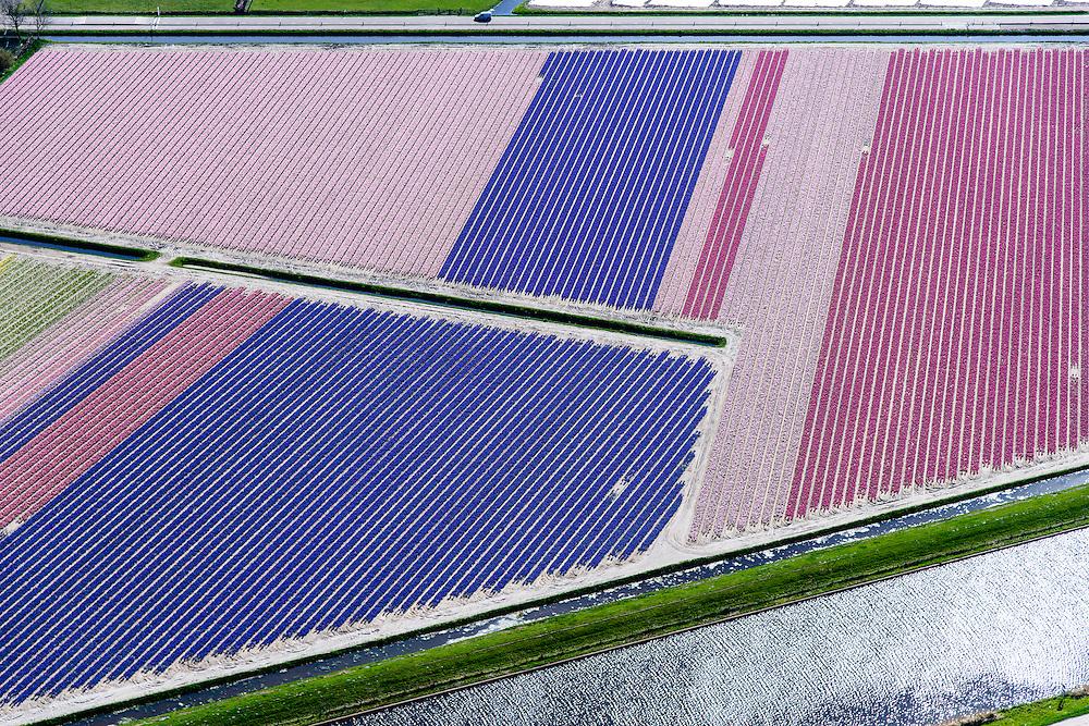 Nederland, Noord-Holland, gemeente Schagen, 20-04-2015;<br /> begin van de bloei van bloembollenveld in het voorjaar, ten Noorden van Sint Maartensbrug. Kop van Noord-Holland, historisch gebied voor de teelt van bollen op geestgrond.<br /> <br /> Beginning of flowering bulbs field in spring.<br /> luchtfoto (toeslag op standard tarieven);<br /> aerial photo (additional fee required);<br /> copyright foto/photo Siebe Swart