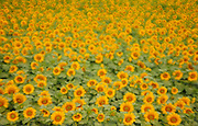 Sunflowers<br /> Winnipeg<br /> Manitoba<br /> Canada
