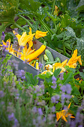Harvested courgettes and their flowers in a tin on the vegetable bank. Zucchini