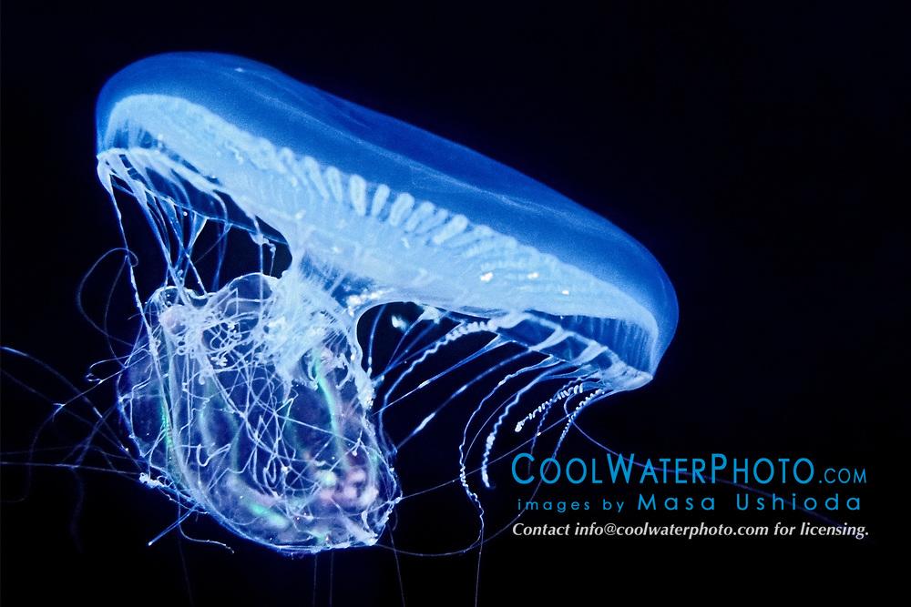 crystal jelly, Aequorea victoria, a bioluminescent hydrozoan jellyfish, preying on warty comb jelly or sea walnut, Mnemiopsis leidyi, Florida Keys National Marine Sanctuary, Key Largo, Florida, USA, Caribbean Sea, Atlantic Ocean