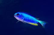 A Blue star or Neon damselfish (Pomacentrus alleni) swimming in an aquarium at King's Lynn Koi Centre Norfolk.
