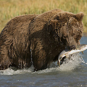 Brown Bear (Ursus arctos middendorffi) on a salmon stream fishing. Alaska
