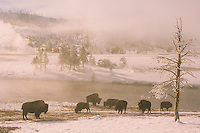 Bison grazing, Yellowstone National Park, Wyoming