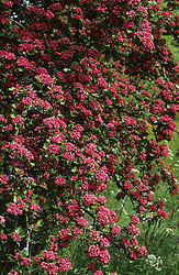 Crataegus 'Paul's Scarlet' - Hawthorn in blossom