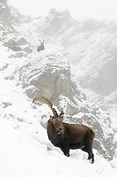31.10.2008..Alpine Ibex (Capra ibex)...Gran Paradiso National Park, Italy