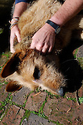 """11/08/2011<br /> EXCLUSIVE<br /> Pet Dog Survives After Being Stabbed in Forehead<br /> <br /> A family's pet dog has miraculously survived after would-be burglars plunged a knife 12 centimetres into her forehead, directly between the dog's eyes.<br /> Bella was seen happily running in the street minutes after she was brutally attacked by criminals she had prevented from breaking in.<br /> The brave six-year-old Alsatian/terrier cross breed didn't appear to notice the large knife's handle protruding from her forehead.<br /> Bella was attacked on in the early hours of Saturday morning while defending a neighbour's property in Stellenbosch, South Africa.<br /> Owner Vernon Swart said his next door neighbours telephoned him to tell him that they had spotted a burglar trying to break into their houseMr Swart, 52, said: """"They said they had spotted someone in their garden, but when they saw them, the guy ran off.<br /> """"Then they looked outside and saw Bella running in the street with a knife in her head.<br /> """"I couldn't believe it when I saw her. She hardly seemed to have noticed at all.<br /> """"It was absurd, it must have gone 10 or 12 centimetres into her head. I couldn't understand how she survived.<br /> """"We rushed down to the vet's. But Bella was quite happy. On the way there she was banging the knife against the car's window.<br /> """"While we were waiting for the vet to open my wife took a picture of her with the knife in her head. """"The vet couldn't believe what he was seeing either. He gave her a general anesthetic and had to put his knee against her head to pull the knife out. """"She had five or six stitches and then woke up in front of the fire half an hour later. She didn't even seem to realise what had happened. The married South African artist and musician, a father of two, went on: """"Bella usually goes for people she doesn't recognise and she would have definitely tried to stop any burglars either in our house or next door. """"We think they must have stabbed her """
