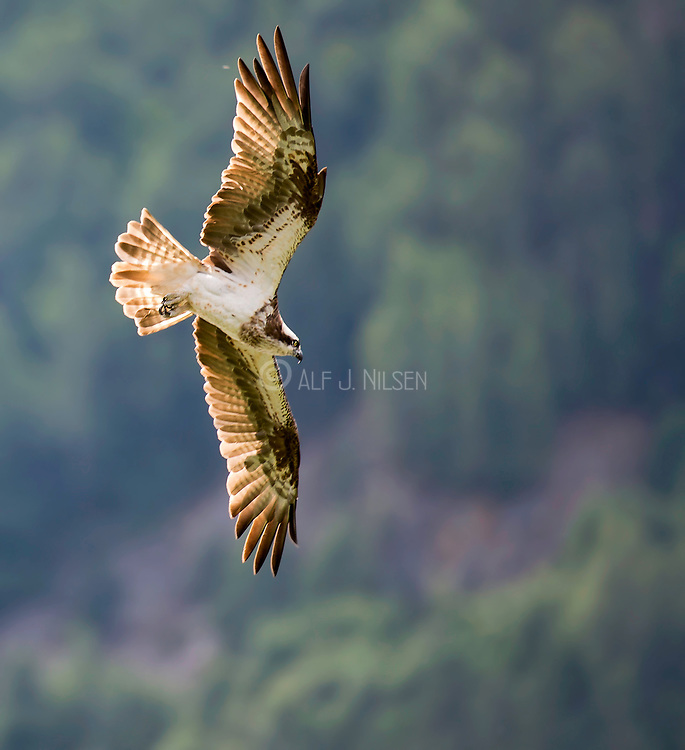 Osprey (Pandion haliaetus) from Telemark, southern Norway.