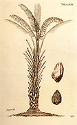 18th century illustration of Elaeis guineensis (African oil palm) from the book 'Selectarum stirpium Americanarum historia' by Jacquin, Nikolaus Joseph,Freiherr von and Kraus; Josephi Kurtzboock. Published in Vienna in 1763