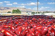 Israel, Jordan Valley, Kibbutz Ashdot Yaacov, Date harvest