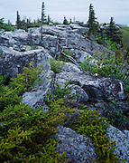 Krummholz Red Spruce, Picea rubens, and lichen-covered boulders, Dolly Sods Wilderness, Monongahela National Forest, West Virginia.