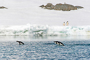 Penguins in water and on land at Kinnes Cove, Paulet Island, Antarctica.