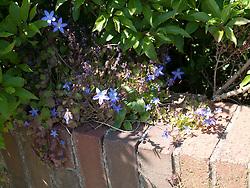 Flowers growing on garden wall.