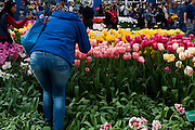 Ass + tulips. Woman photographing flowers at the Keukenhof tulip and flower show in Lisse, Holland - Netherlands Editorial Use only.