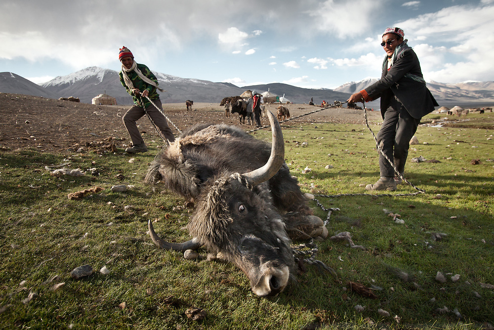 A yak, weighing about 700 Kg is caught before being sheared.  It is impossible to overestimate the importance of livestock to the Kyrgyz. Not only do they provide for most of the Kyrgyz's subsistence needs and serve as the medium of trade that allows the Kyrgyz to procure all the other goods they require, but livestock are also one of the main determinants of social status. In the Afghan Pamir, livestock equals wealth and is more valuable than money..Summer camp of Muqur, Er Ali Boi's place...Trekking through the high altitude plateau of the Little Pamir mountains (average 4200 meters) , where the Afghan Kyrgyz community live all year, on the borders of China, Tajikistan and Pakistan.
