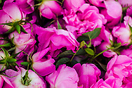 Picked rose flowers for production of Bulgarian Rose Oil