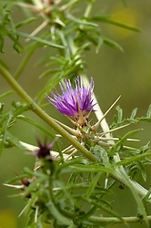 Kalketrip, Centaurea calcitrapa