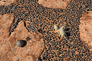 Dozens of iron concretions are trapped in cracks in the Grand staircase Escalante in southern Utah. These iron concretions formed naturally between 6 and 25 million years ago as water dissolved the iron pigment in the red sandstone in the area. The pigment flowed down through the now bleached sandstone and then solidified when it came in contact with oxygenated water, forming a new iron mineral called hematite between the grains of sandstone. Over time, the sandstone eroded away, leaving the more durable iron concretions behind. These largely spherical balls are composed of a hard outer layer of hematite covering a ball of pink sandstone. By volume, the sandstone makes up the majority of these iron concretions, though those found elsewhere in the Colorado Plateau may contain much more hematite. Scientists aren't sure why they form in spheres or if they need something in particular as a nucleus to start growing.