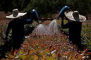 Varzea da Palma_MG, Brasil...Mudas de eucalipto em Varzea da Palma, Minas Gerais...Eucalyptus seedlings Varzea of Palma, Minas Gerais...Foto: LEO DRUMOND / NITRO