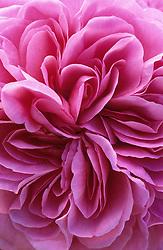 Rosa 'Gertrude Jekyll' syn R. 'Ausbord'