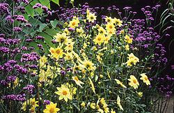 Border in the exotic garden at Great Dixter with Dahlia 'Clair de Lune' and Verbena bonariensis