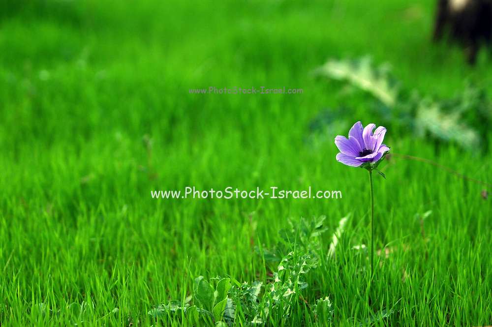 Israel, Purple Anemone coronaria (Poppy Anemone). This wildflower can appear in several colours. Mainly red, purple, blue and white