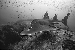 Critically endangered, the strange, ancient-looking Bowmouth Guitarfish, Rhina ancylostoma, shares characteristics of both sharks and rays, with the well-developed tail and fins of the former, as well as ventrally-located mouth and gill openings of the latter.  Similan Islands Marine National Park, Thailand, Andaman Sea