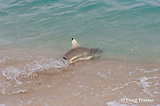 blackfin or blacktip reef shark, Carcharhinus melanopterus, re-enters water after beaching itself chasing bait fish, Turu Cay, Torres Strait, Queensland, Australia