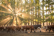 Hereford cattle in the evening sunlight, Estancia Huechahue, Patagonia, Argentina, South America