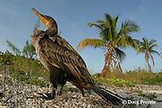 double-crested cormorant, Phalacrocorax auritus, Sandy Point, Great Abaco Island, Bahamas