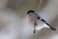 Bullfinch - Pyrrhula pyrrhula - female L 16-17cm. Unobtrusive finch whose call and white rump are distinctive. Bill is stubby and dark. Sexes are separable. Adult male has a rosy-pink face, breast and belly. Back and nape are blue-grey and cap and tail are black. Note white wingbar on otherwise black wings. Adult female is similar but duller. Juvenile is similar to adult female but head is uniformly buffish brown. Voice Utters a soft piping call; pair sometimes duets. Song is quiet and seldom heard. Status Fairly common resident of woodlands, hedgerows and mature gardens.