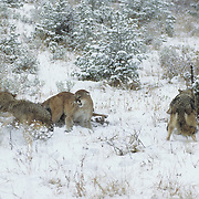 A mountain lion has a confrontation with wolves over a deer carcass. Montana, Captive Animal