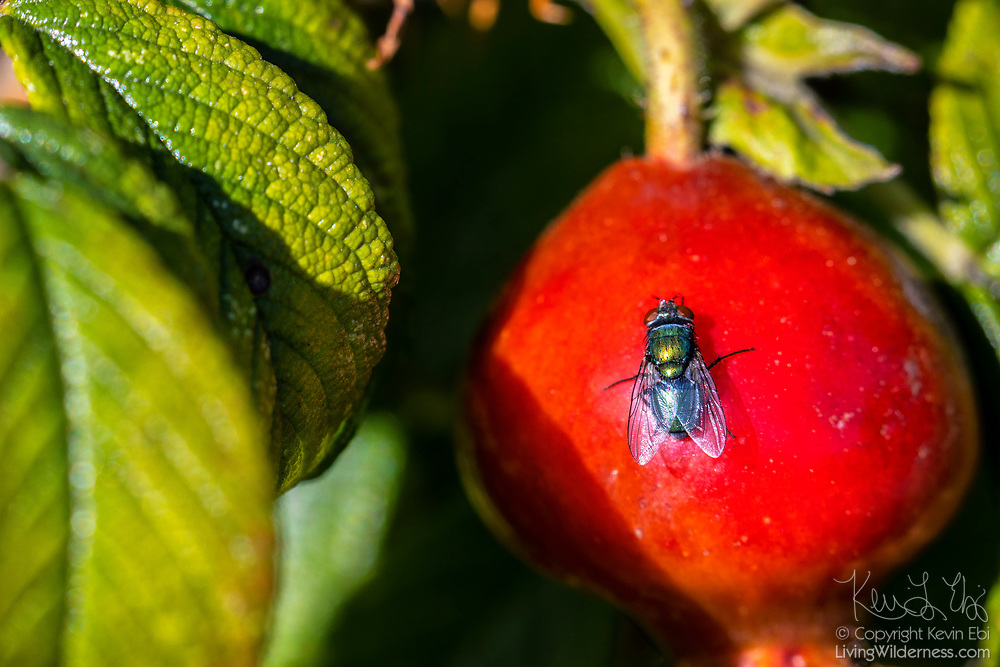 A common green bottle fly (Lucilia sericata) rests on a rose hip in Everett, Washington.