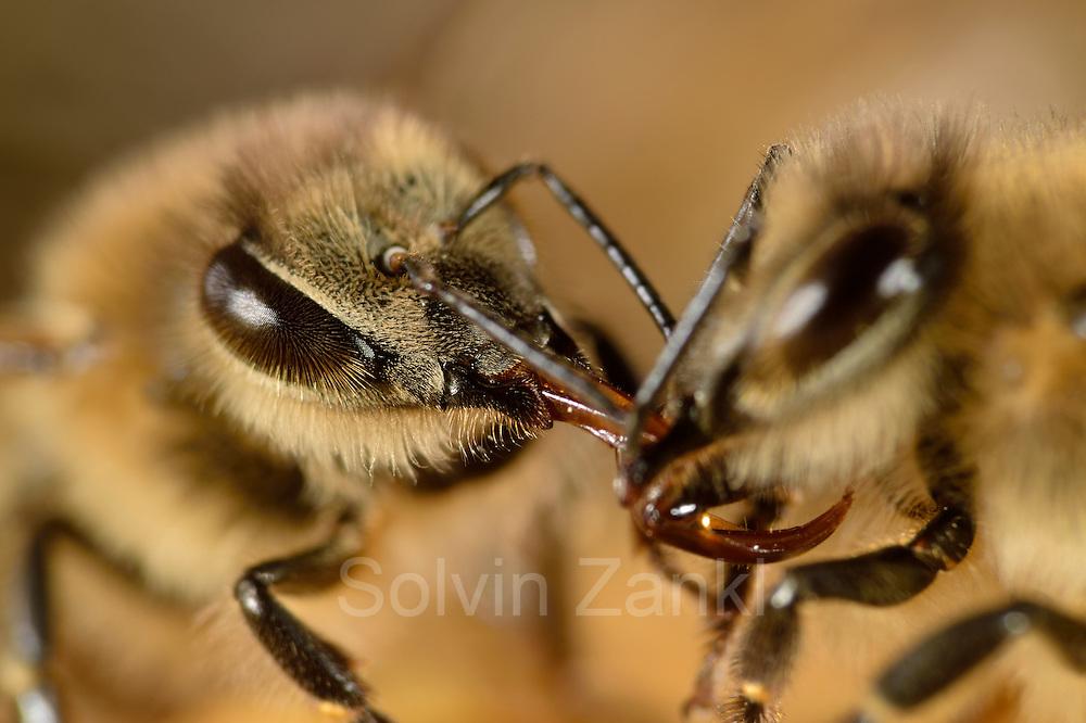 The honeybee (Apis mellifera) passes the collected nectar to a sister, who will store it as honey in the cells. Kiel, Germany   Die Honigbiene (Apis mellifera) gibt den gesammelten Nektar an eine Schwester weiter, diese wird den Nektar eindichcken und ihn als Honig in den Zellen lagern.  Kiel, Deutschland