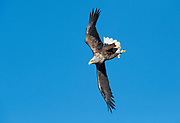 White tailed eagle in flight, flying, Haliaeetus albicilla, Norway