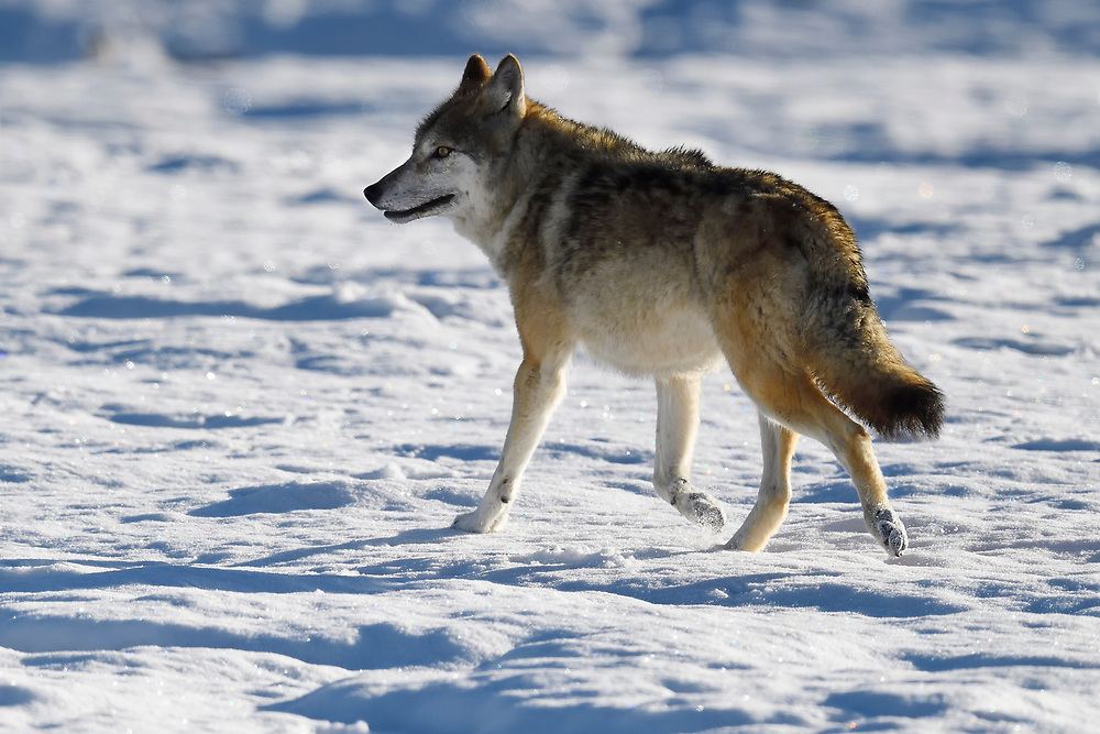 Tibetan wolf, Canis lupus, found in snow landscape at Keke Xili, Changtang, Tibetan Plateau, Qinghai, China