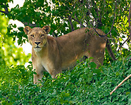 Lioness makes eye contact with observer, cool riverine forest vegetation along the Chobe River, Chobe National Park, Botswana. © David A. Ponton