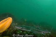 spiny dogfish, piked dogfish, spurdog, or dog shark, Squalus acanthias, and orange sea pen, Ptilosarcus gurneyi, Quadra Island off Vancouver Island, British Columbia, Canada ( Discovery Passage )