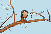 Stock Photo of bald eagle captured in Colorado. Their diet consists mainly of fish.