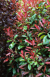 Photinia x fraseri 'Red Robin', showing red colour of new, young spring foliage