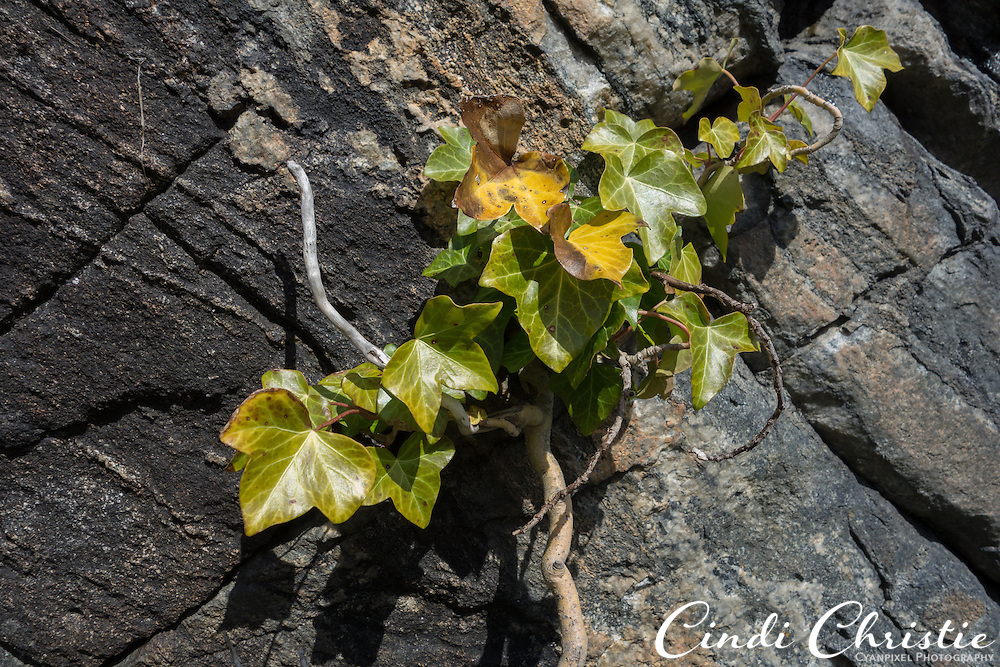Vines grow out of the rocky walls along the 418 steps of the Aksla viewpoint in Ålesund, Norway, on May 14, 2013.  A road is available for people who for whatever reason cannot make the steep and winding climb.The Fjellstua restaurant is at the top. (© 2013 Cindi Christie)