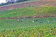 harvesting vineyard pernand-vergelesses cote de beaune burgundy france