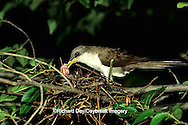 01099-00918 Yellow-billed cuckoo (Coccyzus americanus) adult feeding insect to nestlings, Marion County,  IL