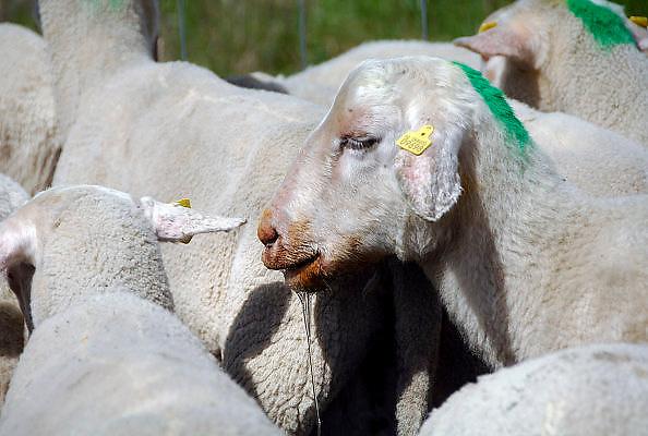 Nederland, Blerick, 29-8-2007..Blauwtong. Ziek, door het virus getroffen schaap. Er bestaat nog geen vaccin,medicijn,geneesmiddel tegen het blauwtongvirus. De dieren kwijnen weg omdat ze niet meer eten,veel pijn hebben en inwendige infecties krijgen. Deze schapenboer geeft wel een injectie,spuit tegen de pijnen,pijnstiller, zodat de beesten blijven eten en misschien genezen. Met antibiotica proberen ze de infecties te  bestrijden. De besmette schapen gaan slijm uit de bek afscheiden,kwijlen, vanwege aantasting van de mondholte en tong...Foto: Flip Franssen/Hollandse Hoogte