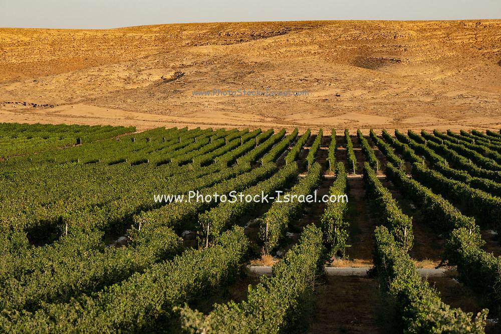 Desert Agriculture Photographed in the Negev Desert, Israel
