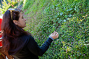 Passion Flower. Foraging for wild edibles in Los Angeles neighborhood Echo Park. Nance Klehm leads her Urbanforage guided walk showing and educating attendees about various greens, herbs and other edibles readily found along streets, lots and front yards. Los Angeles, California, USA
