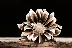 A monotone Gerber Daisy on a wooden shelf