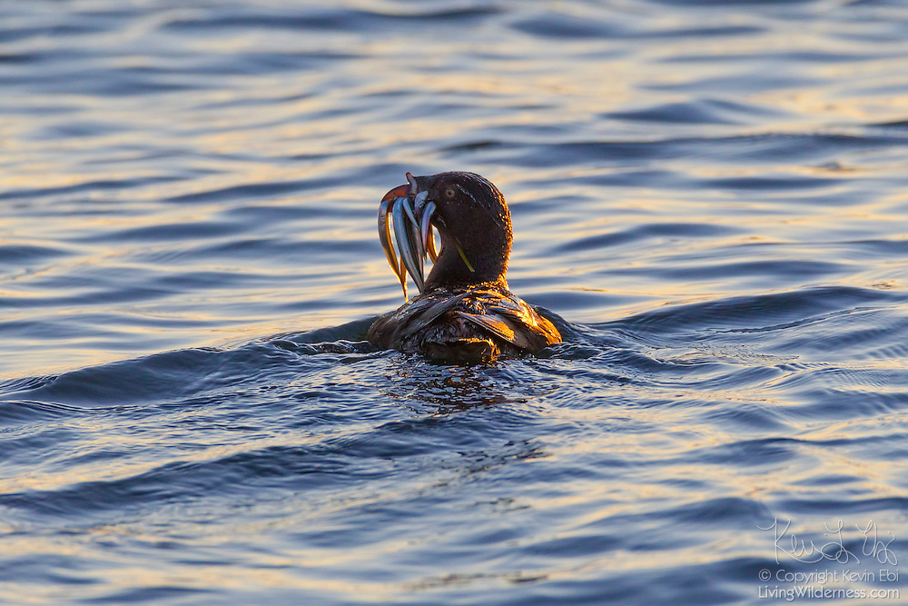 A rhinoceros auklet (Cerorhinca monocerata) with its bill full of herring swims on Puget Sound near Port Townsend, Washington. The rhinoceros auklet feeds almost exclusively on small fish.