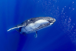 humpback whale, Megaptera novaeangliae, female and bubbles from a competing male, Hawaii, USA, Pacific Ocean