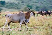 Common eland (Taurotragus oryx) from Maasai Mara, Kenya.