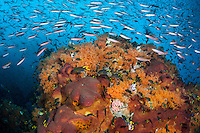 Fusiliers and Damsels schooling by the hundreds<br /> <br /> Shot in Indonesia